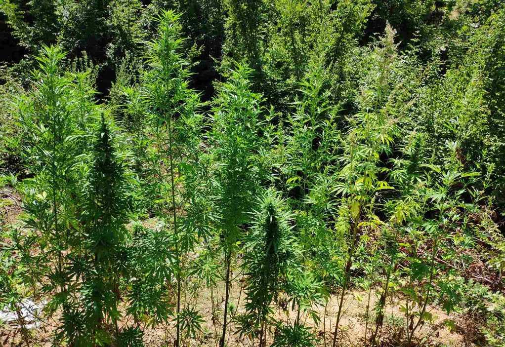 Τον «έπιασαν» να καλλιεργεί 70 χασισόδεντρα στο δάσος (ΦΩΤΟ)