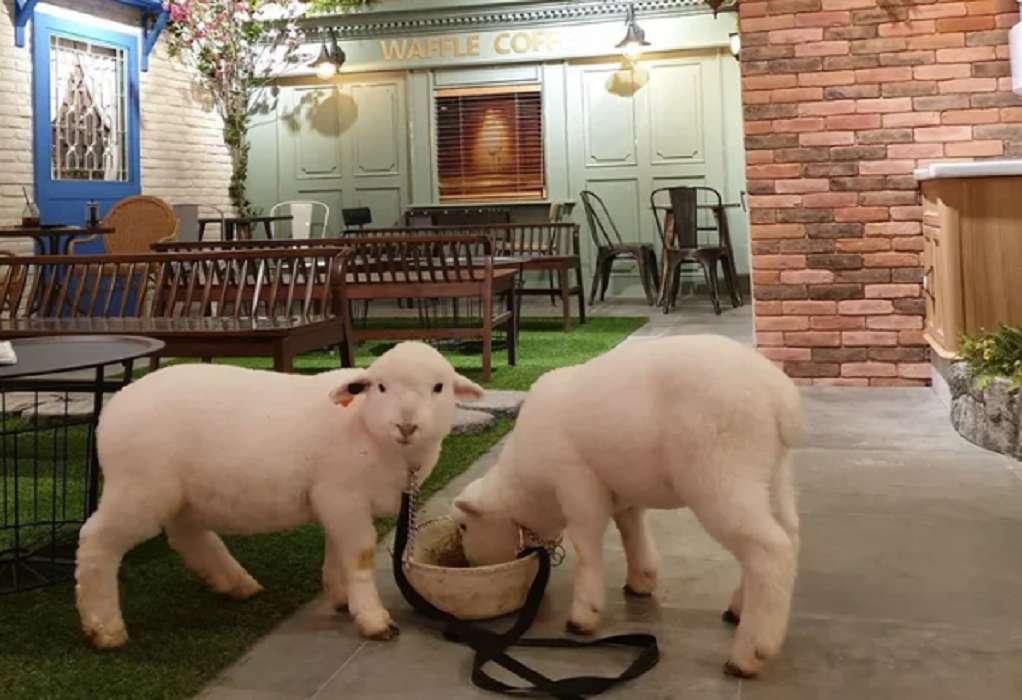 Καφετέρια για πρόβατα…χωρίς τον λύκο