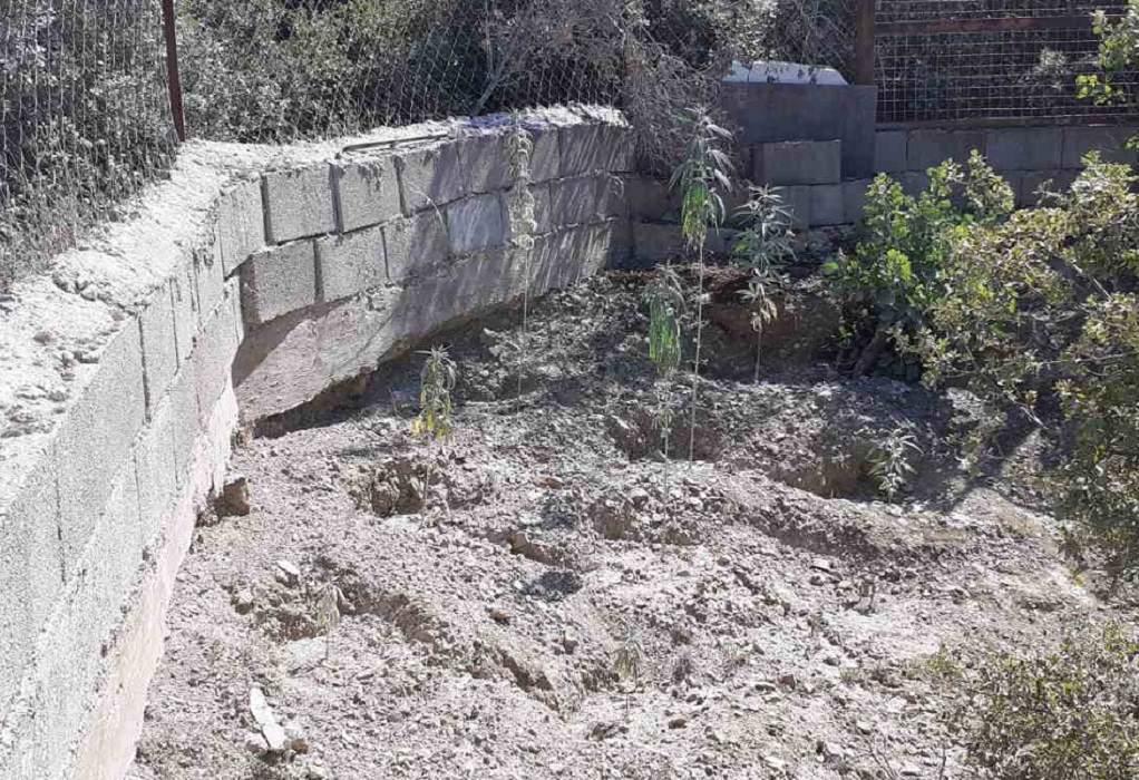 Δομοκός: Σύλληψη «καλλιεργητή» κάνναβης