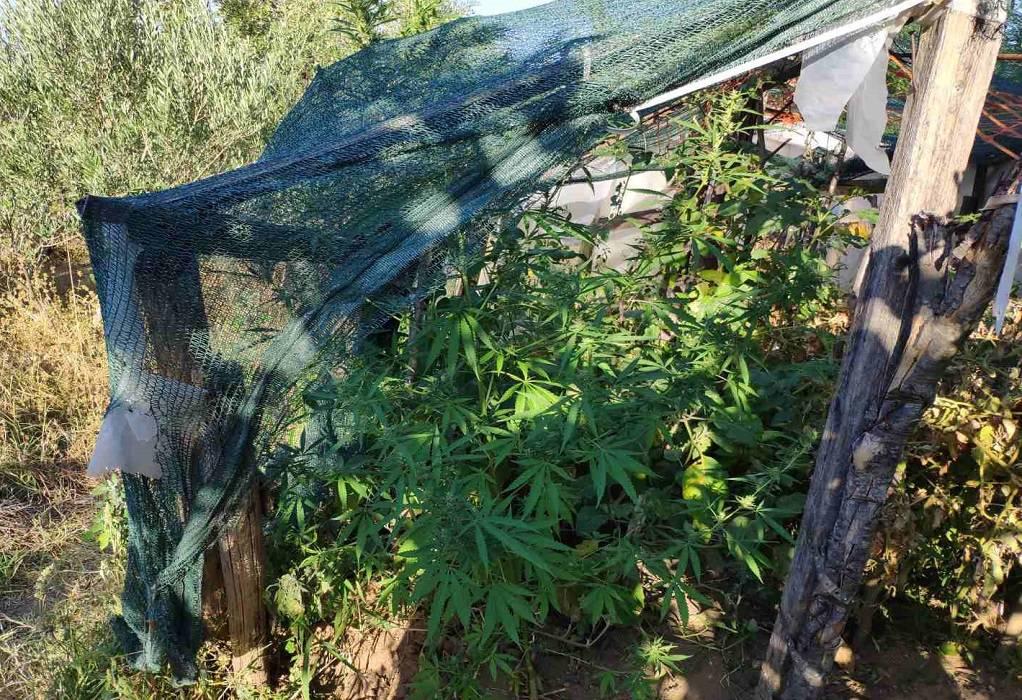 Λαγκαδάς: Καλλιεργούσε χασισόδεντρα στην αυλή του! (ΦΩΤΟ)