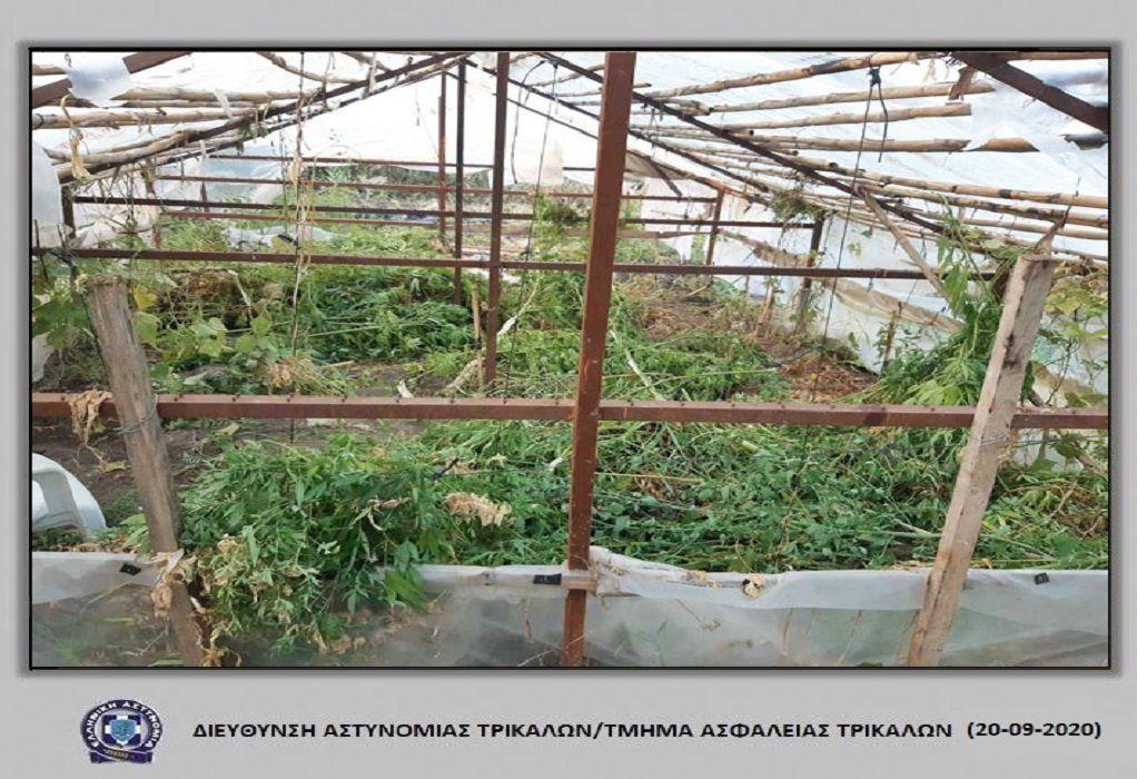 Θερμοκήπιο με… χασισόδενδρα- Χειροπέδες στον «καλλιεργητή»