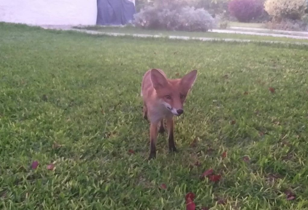 Ο Δ. Μάρδας εξημέρωσε αλεπού και την έχει κατοικίδιο! (ΦΩΤΟ-VIDEO)