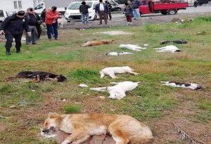 Σοκ και θλίψη: 17 αδέσποτα νεκρά από φόλες!