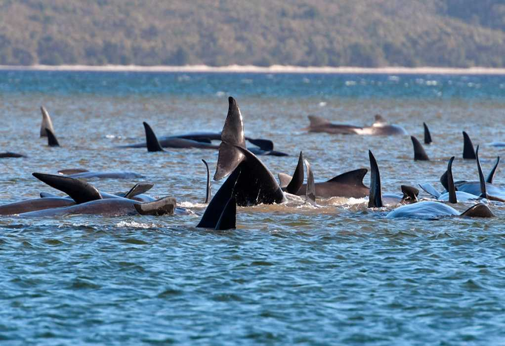 Εκατοντάδες φάλαινες παγιδευμένες σε ακτή στην Τασμανία (ΦΩΤΟ)