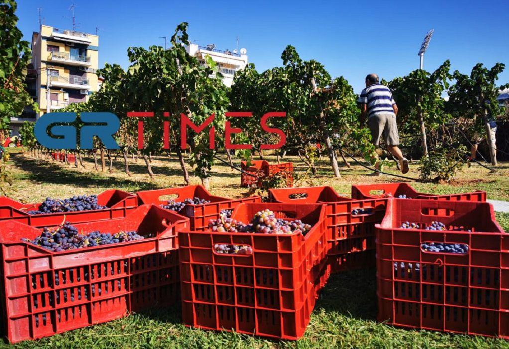 Τρύγος 2021: Όταν ο Άγιος Αύγουστος κάνει το σταφύλι… κρασί!