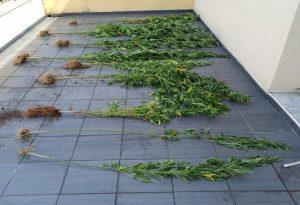 Δράμα: Συνελήφθη ημεδαπός  για καλλιέργεια και κατοχή ναρκωτικών