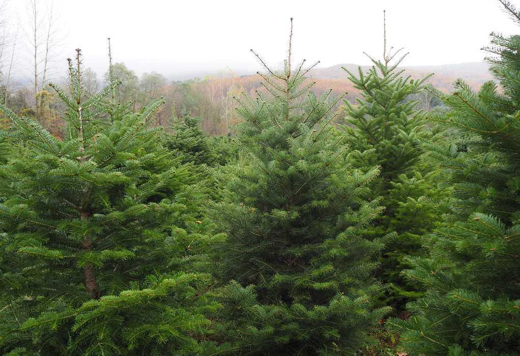 Χριστουγεννιάτικα έλατα: Δόθηκε το «πράσινο φως» για τη διακίνησή τους