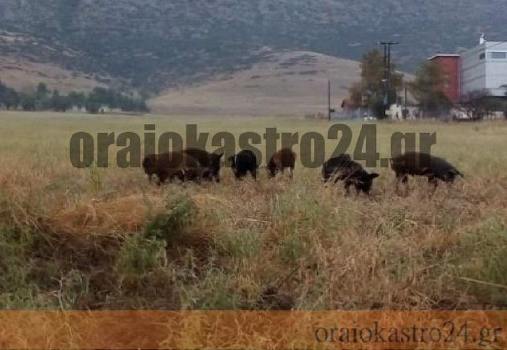 Αγριογούρουνα κόβουν βόλτες στο Ωραιόκαστρο