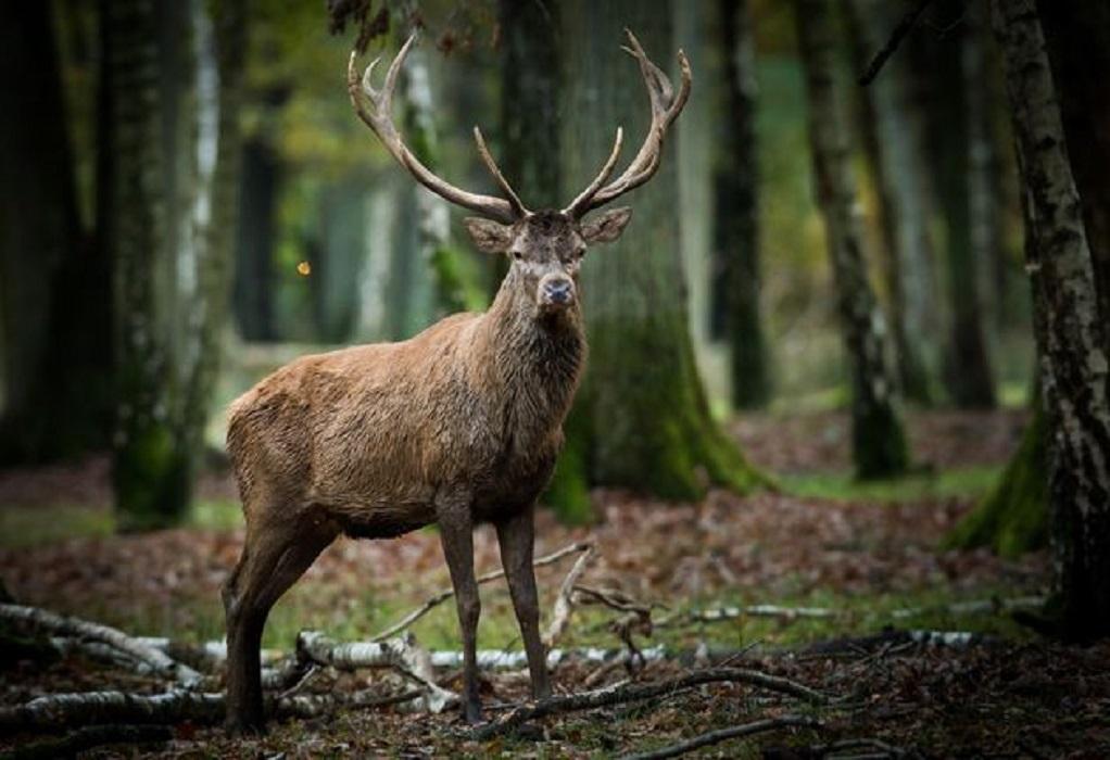 Ελάφι έκλεψε… τη καραμπίνα ενός κυνηγού