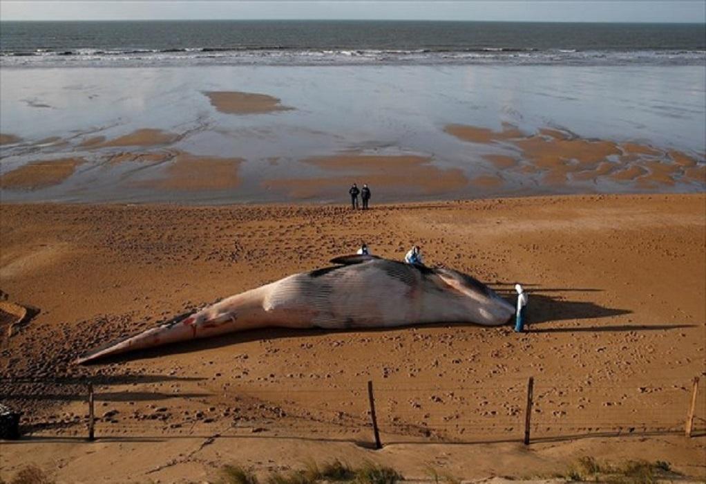 Έρευνα για τις νεκρές πτεροφάλαινες
