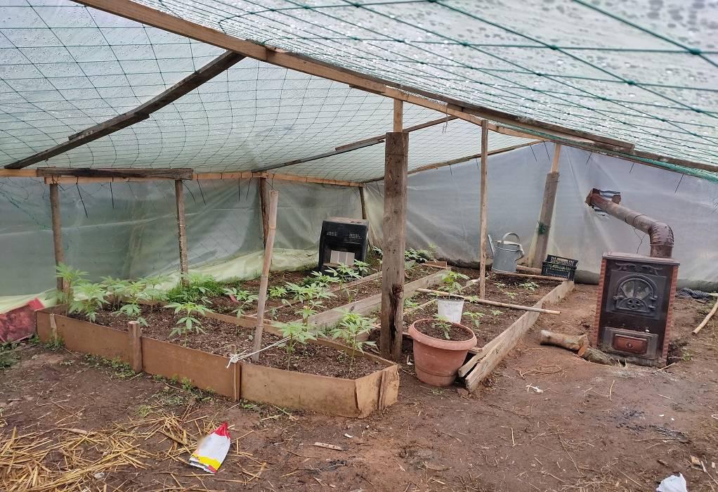 Πολύγυρος: Καλλιεργούσε 80 δενδρύλλια-φυτά κάνναβης (VIDEO)