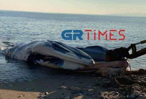 Νεκρή φάλαινα ξεβράστηκε σε παραλία του Πειραιά (ΦΩΤΟ/VIDEO)