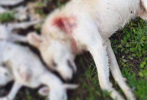 Ιωάννινα: Πυροβολημένος σκύλος και νεκρά αρνάκια σε χωριό