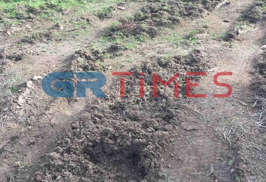 Γέμισε η Χαλκιδική αγριογούρουνα – Ανησυχία για αφρικανική πανώλη και καλλιέργειες (ΦΩΤΟ)