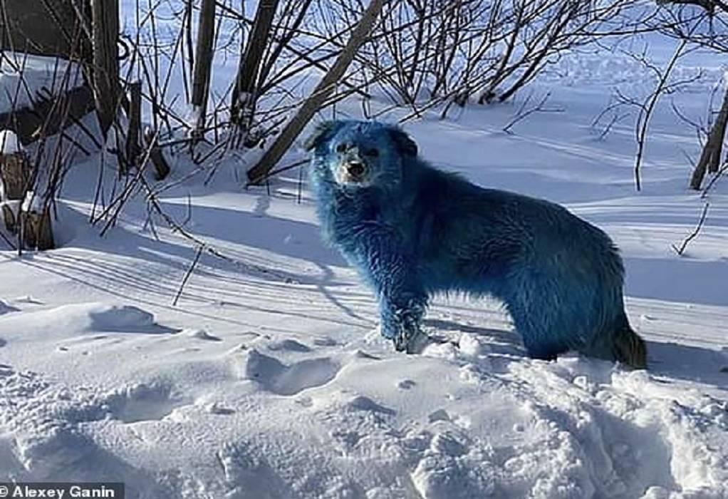Ρωσία: Εντοπίστηκαν σκυλιά με μπλε τρίχωμα
