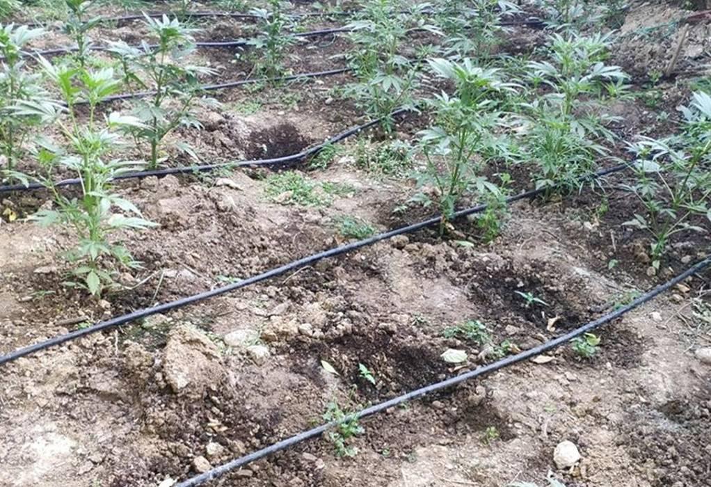 Κρήτη: Φυτεία εκατοντάδων δενδρυλλίων κάνναβης