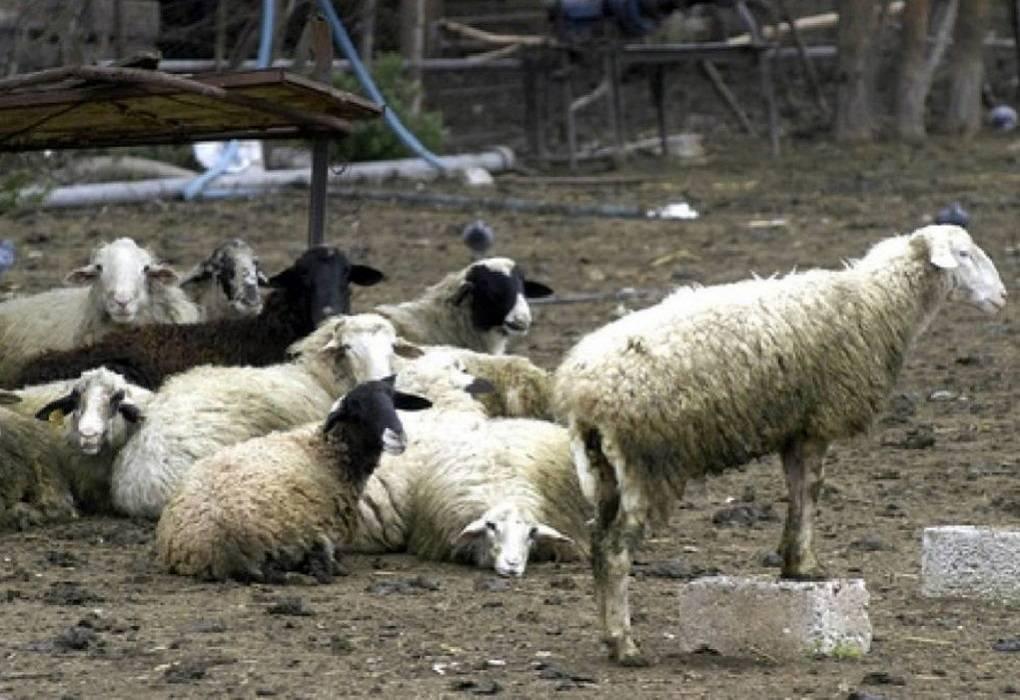 Κεσίδης: Το Πάσχα των Καθολικών… εκτόξευσε τις τιμές στα αμνοερίφια! (ΗΧΗΤΙΚΟ)