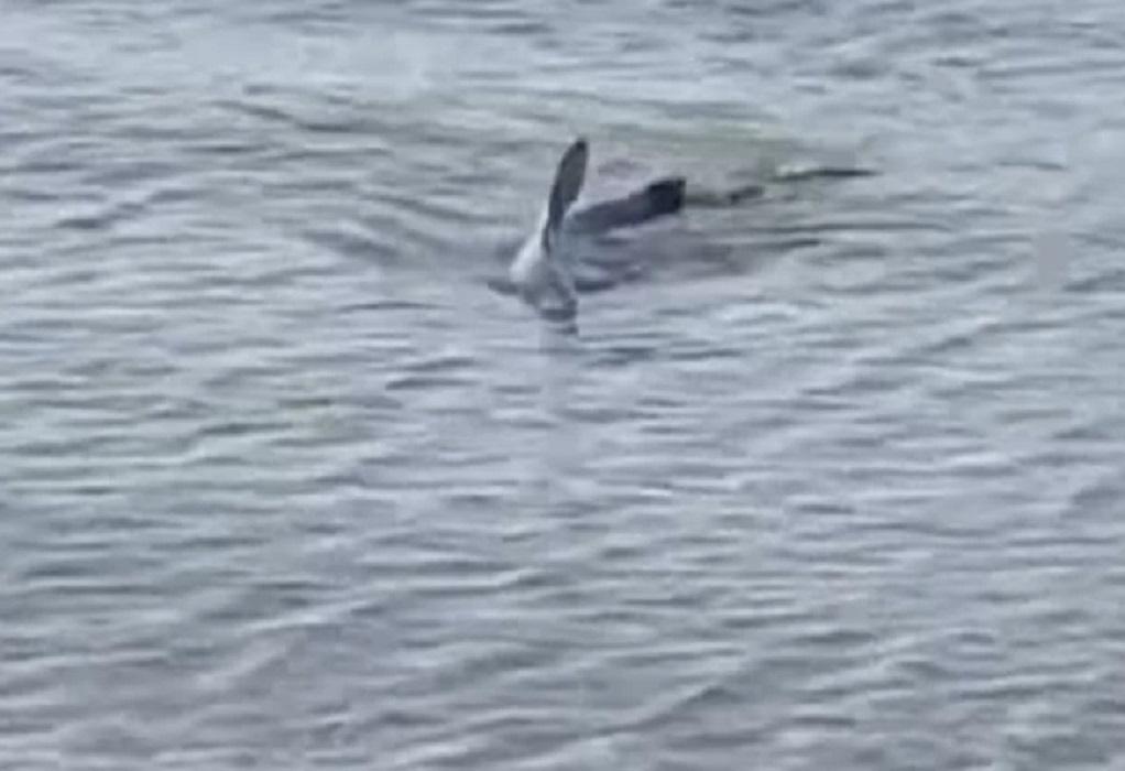Σπάνιο θέαμα με γαλάζιο καρχαρία σε παραλία του Ναυπλίου (VIDEO)