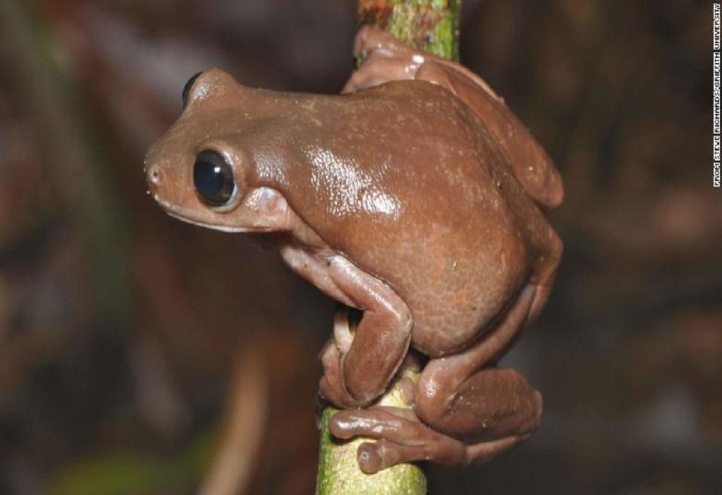 Ανακαλύφθηκε ένας νέος «σοκολατένιος» βάτραχος