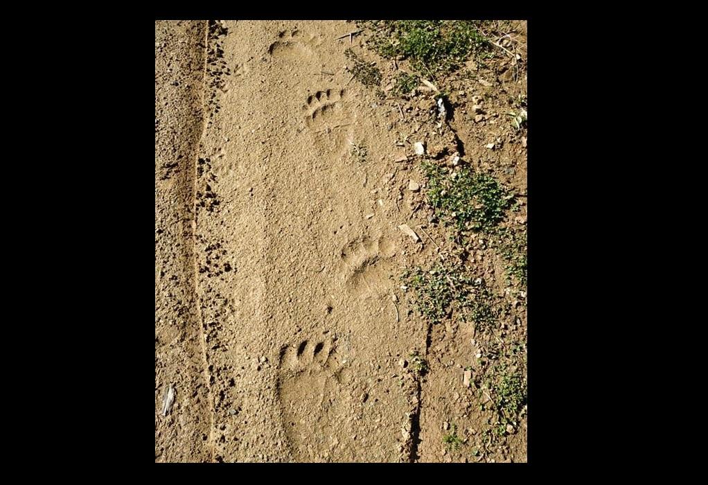 Γιατί είναι ελπιδοφόρα η επανεμφάνιση αρκούδας στην περιοχή του Παγγαίου