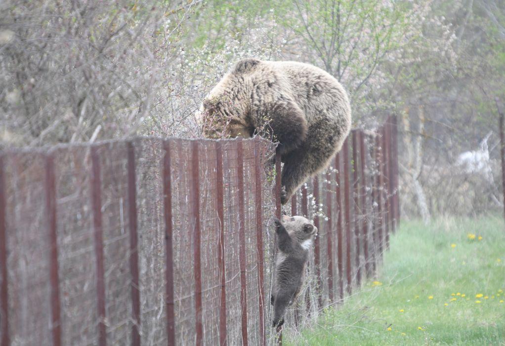 Καστοριά: Αρκούδα σκαρφάλωσε σε φράχτη μαζί με το μωρό της και «έκλεψε» κεράσια