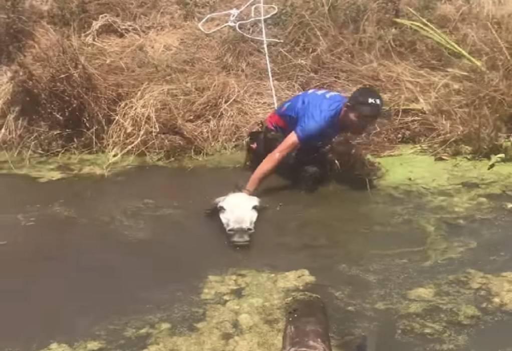 Μεσσήνη: Έσωσαν γάιδαρο που κινδύνευε να πνιγεί (VIDEO)