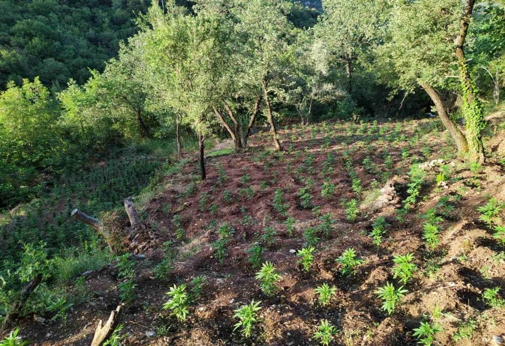 Ηλεία: 4.300 δενδρύλλια χασίς βρέθηκαν από την ΕΛ.ΑΣ σε δασική έκταση (ΦΩΤΟ)