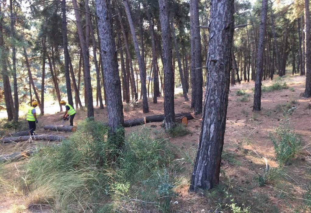 Δήμος Θέρμης: Συνεχίζεται η υλοτόμηση λόγω φλοιοφάγου εντόμου