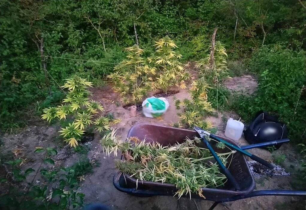 Γρεβενά: Συνελήφθησαν για καλλιέργεια 29 δενδρυλλίων κάνναβης