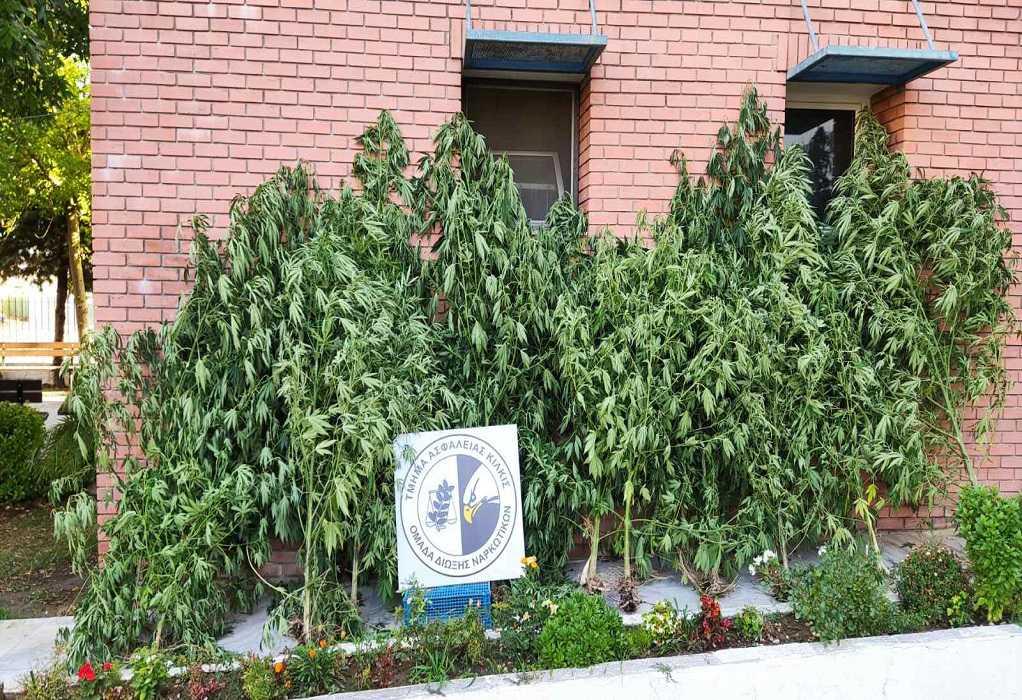 Κιλκίς: Έως τα 3,5 μέτρα ύψος έφταναν τα δενδρύλλια κάνναβης που καλλιεργούσε 47χρονος