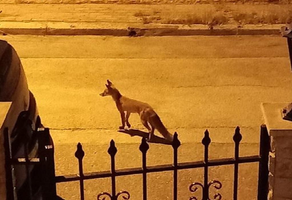 Ωραιόκαστρο: Νέα εμφάνιση της αλεπούς! Μπήκε σε αυλές σπιτιών!