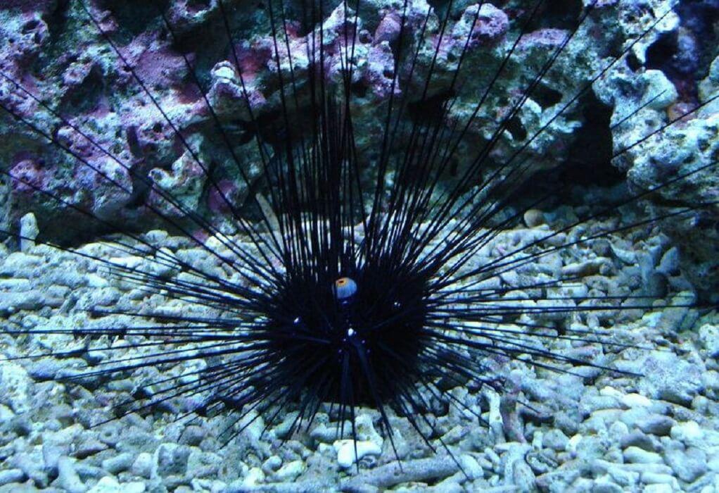 Diadema Setosum: Ο δηλητηριώδης αχινός που αυξάνεται στις ελληνικές θάλασσες (ΦΩΤΟ – VIDEO)