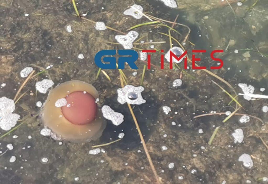 """Θεσσαλονίκη: Μέδουσες… """"τηγανητό αυγό"""" στον Θερμαϊκό (ΦΩΤΟ-VIDEO)"""