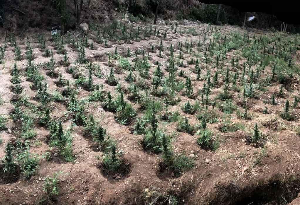 Πάτρα: Εντοπίστηκε φυτεία κάνναβης με περισσότερα από 900 δενδρύλλια (ΦΩΤΟ)