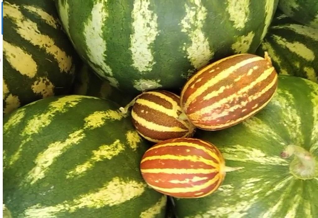 Κιλκίς: Πεπόνια «τσέπης» καλλιεργεί παραγωγός από το Νέο Αγιονέρι(ΦΩΤΟ)