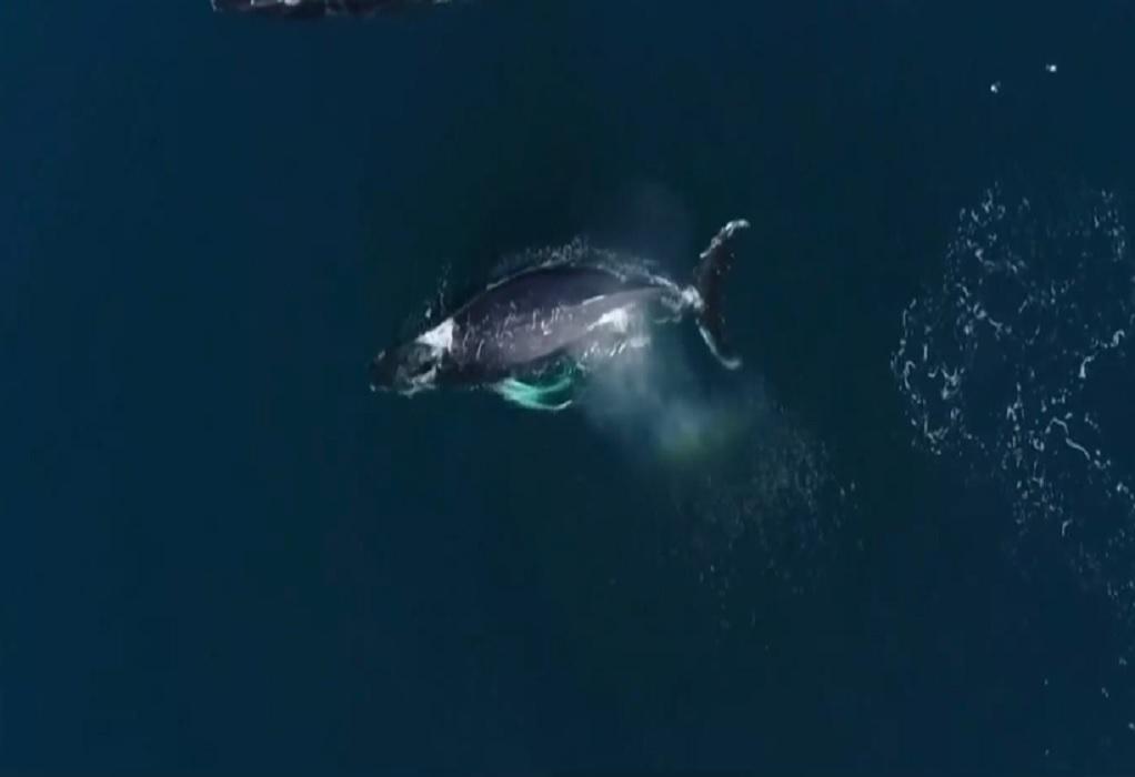 Ισπανία: Μπλε φάλαινες εμφανίστηκαν μετά από 40 χρόνια