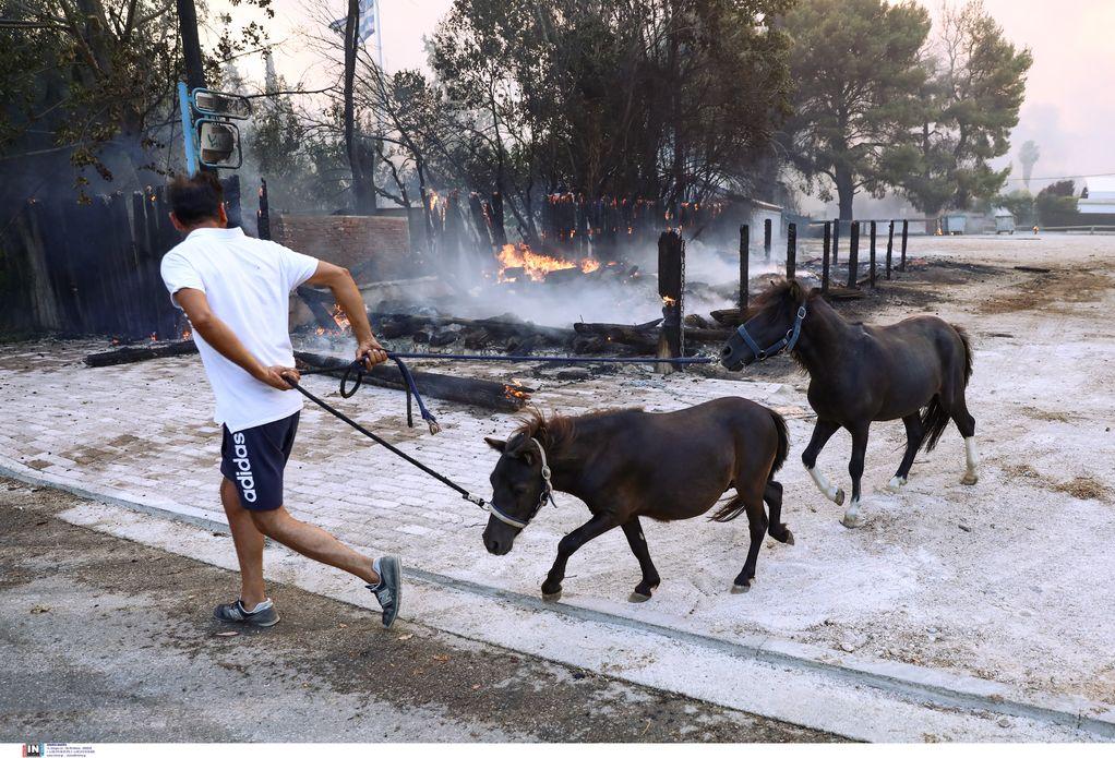 Φωτιά – Βαρυμπόμπη: Συνεχίζεται η απομάκρυνση αλόγων (ΦΩΤΟ)