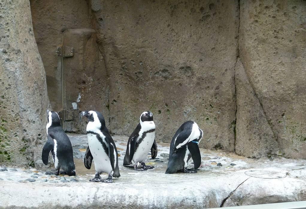 Νότια Αφρική: Μέλισσες σκότωσαν 63 πιγκουίνους ενός απειλούμενου είδους