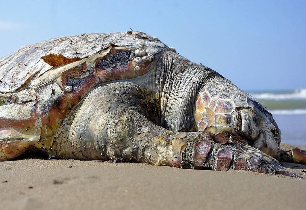 Θεσσαλονίκη: Νεκρή πρασινοχελώνα στην παραλία της Περαίας