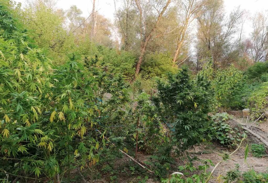 Βέροια: Καλλιεργούσαν κάνναβη σε δύσβατη περιοχή- Δύο συλλήψεις