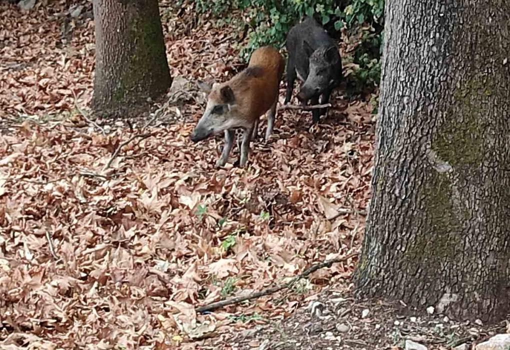 Καστοριά: Μετά τις αρκούδες εμφανίστηκαν και αγριογούρουνα! (ΦΩΤΟ)