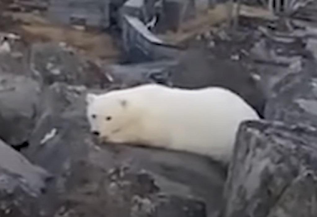 Ρωσία: Ορφανό λευκό αρκουδάκι πλησίασε κατοικημένη περιοχή (VIDEO)