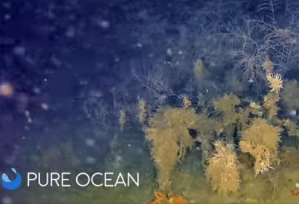 """Ινστιτούτο """"Αρχιπέλαγος"""": Ανακαλύφθηκαν δάση μαύρου κοραλλιού στο Αιγαίο (VIDEO)"""
