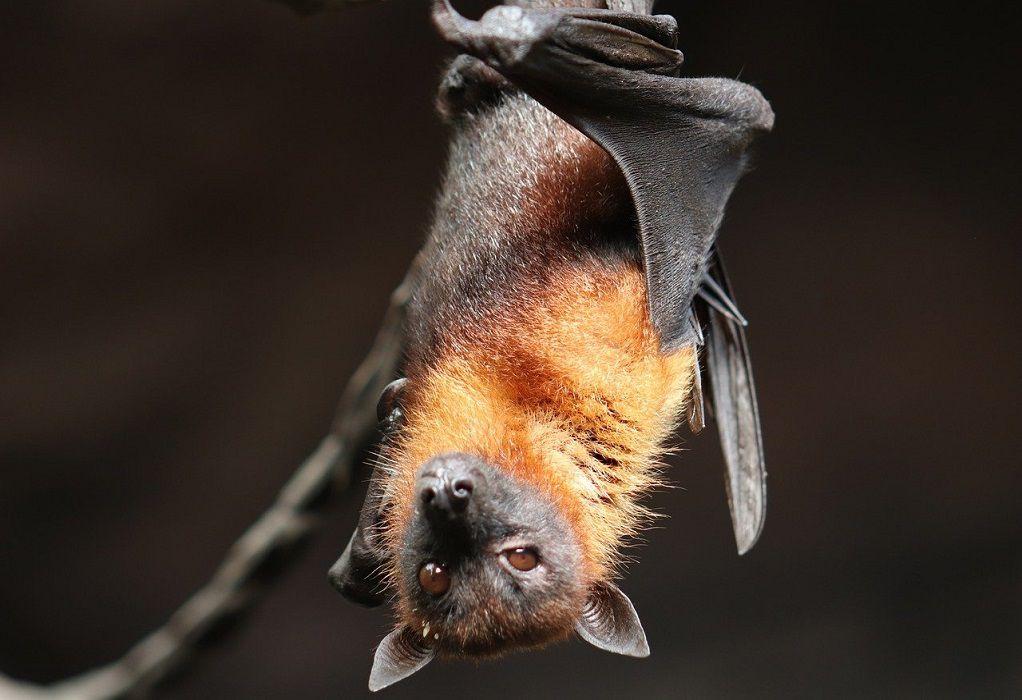 Καμπότζη: Επιστήμονες αναζητούν την προέλευση του νέου κορωνοϊού σε νυχτερίδες