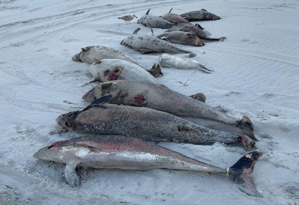 Ολλανδία: Νεκρές φώκαινες ξεβράστηκαν στο αρχιπέλαγος Βάντεν