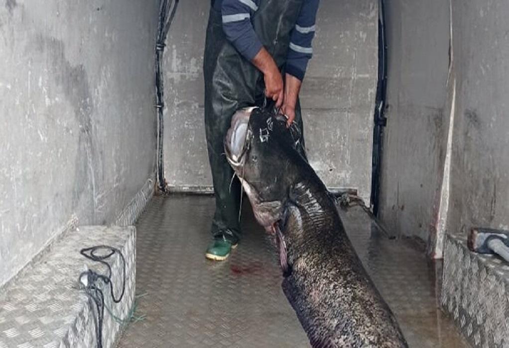 """Κοζάνη: Γουλιανός – """"μαμούθ"""" βάρους 123 κιλών στα δίχτυα ψαρά (ΦΩΤΟ)"""
