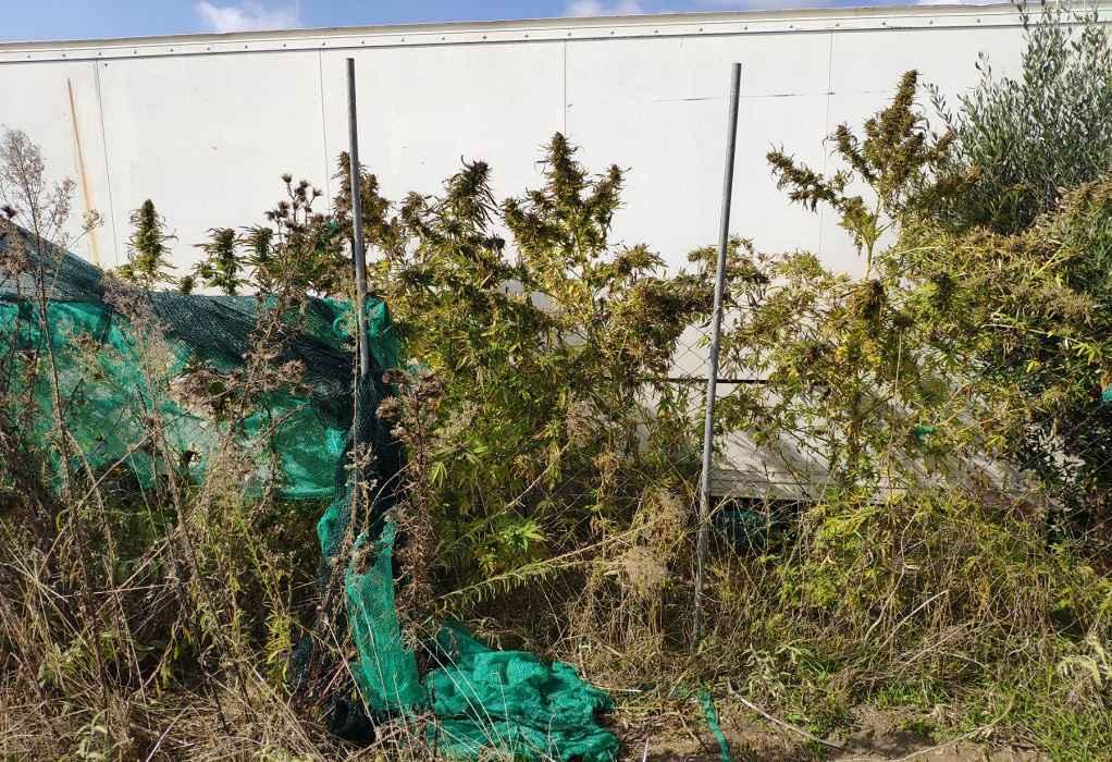 Χαλκιδική: Χειροπέδες σε δύο αδέλφια – Καλλιεργούσαν δενδρύλλια κάνναβης σε αγρόκτημα