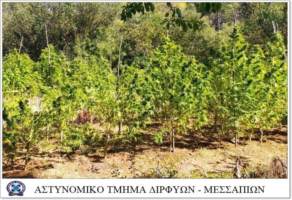 Εύβοια: Φυτεία με 125 δενδρύλλια κάνναβης σε δασική περιοχή (ΦΩΤΟ)