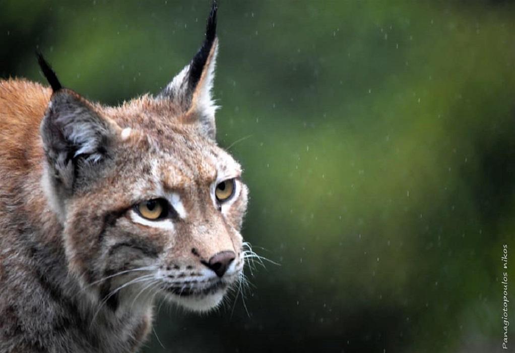 Ο εντυπωσιακός λύγκας επέστρεψε στην Ελλάδα πενήντα χρόνια μετά (ΦΩΤΟ)