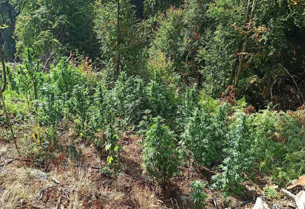 Σέρρες: Καλλιεργούσαν δενδρύλλια κάνναβης σε υψόμετρο 1400 μέτρων, στο όρος Μπέλες (ΦΩΤΟ)